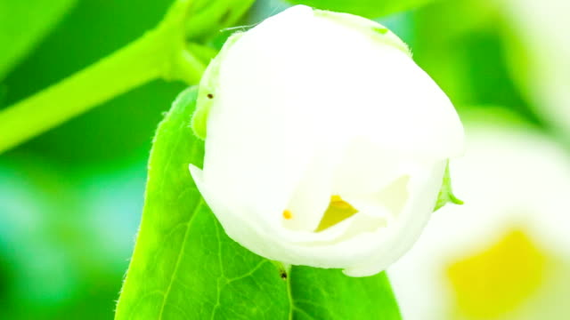 jasmine flower blooming in a time lapse - flower head stock videos & royalty-free footage