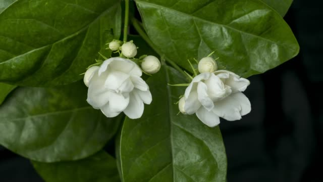 vidéos et rushes de jasmine flowers growing time lapse.group of jasmine flowers growing in nature. - jasmin