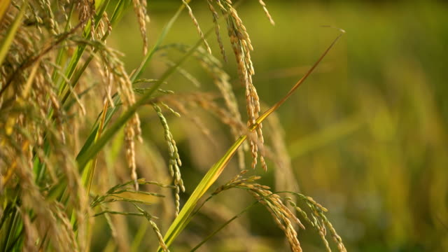 jasmine rice in field close up. - paddy field stock videos & royalty-free footage