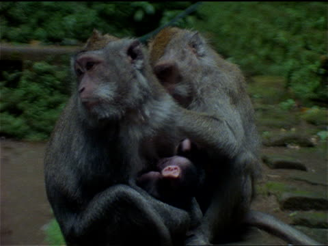 java monkeys sit near a temple and groom each other. - other stock videos & royalty-free footage