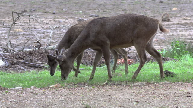 ms javan rusa or sunda sambar (rusa timorensis), komodo island, east nusa tenggara, indonesia - deer stock videos & royalty-free footage