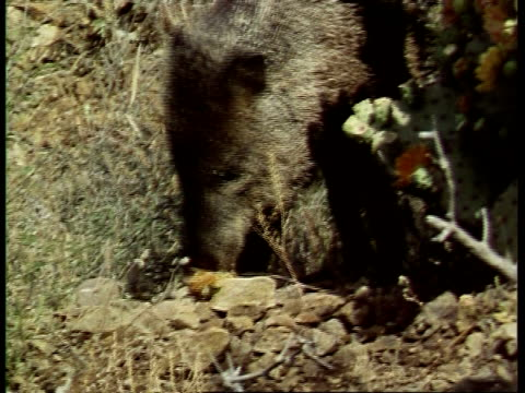 cu javelina peccary, tayassu tajacu foraging in undergrowth, usa - foraging stock videos & royalty-free footage