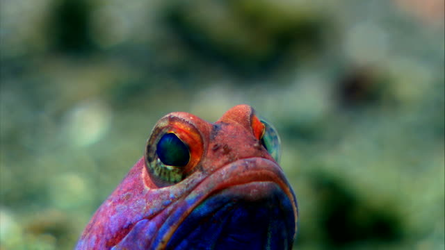 Jawfish male