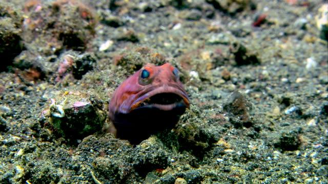 stockvideo's en b-roll-footage met jawfish male - dierenhol