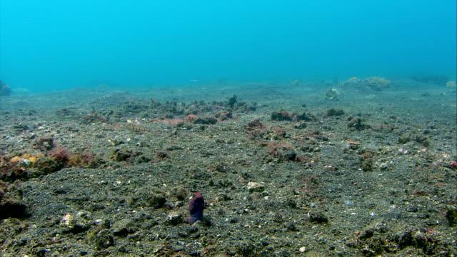 Jawfish male