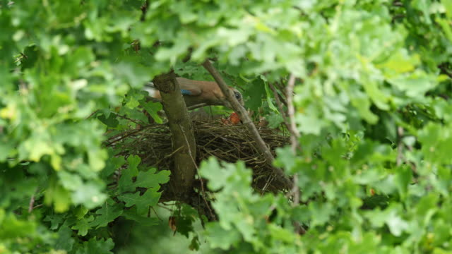 jay is feeding chicks in nest in a green oak tree - bird's nest stock videos & royalty-free footage