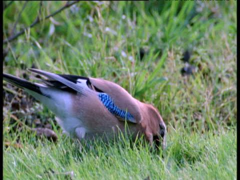 jay pecks at ground then flies off, uk - futter suchen stock-videos und b-roll-filmmaterial