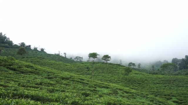 A jeep drives along a rocky road beside the Makaibari Tea Estate Wide views of a tea plantation on the side of a misty mountain Close view of hands...