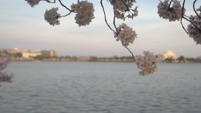 花の背後にあるジェファーソン記念堂 - 政治行動委員会点の映像素材/bロール