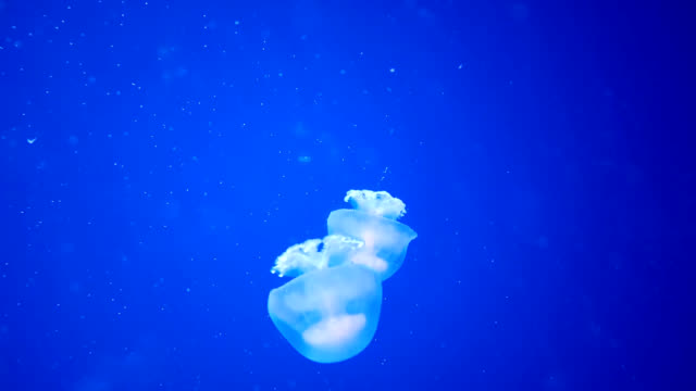 jelly fish moving down through deep blue water - upside down jellyfish stock videos & royalty-free footage