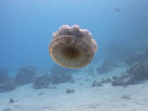 Jellyfish WS above sandy bottom