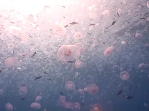 vidéos et rushes de jellyfish and fish in large groups - translucide