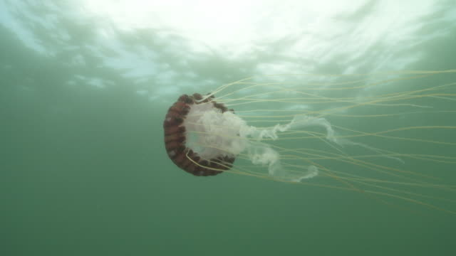 jellyfish in open ocean - large stock videos & royalty-free footage