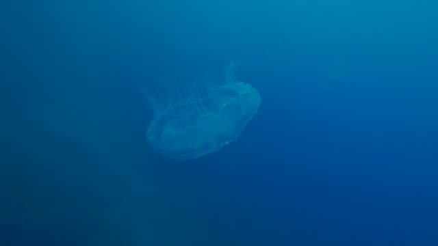 jellyfish, japan - moon jellyfish stock videos & royalty-free footage
