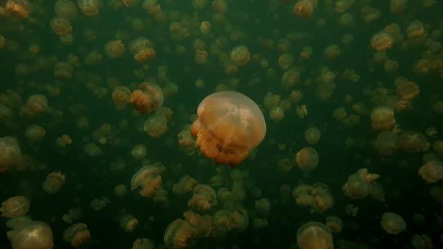 jellyfish lake, snorkeling, palau - loch stock videos & royalty-free footage