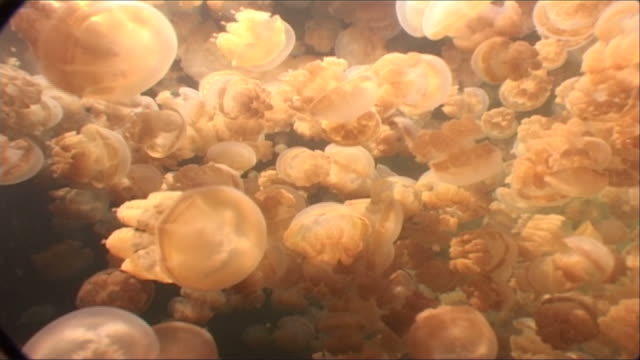 jellyfish, mastigias sp. look up through hundreds to surface.  jellyfish lake, palau, western pacific   - loch stock videos and b-roll footage