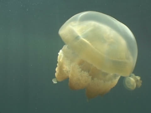 jellyfish matgias sp. jellyfish lake, palau, western pacific - lake stock videos & royalty-free footage