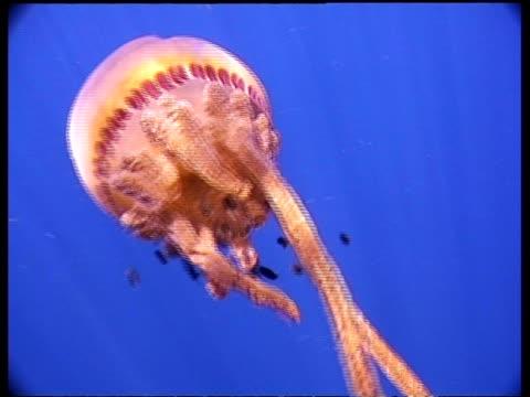 cu jellyfish moving away from camera, fish following, malaysia - 共生関係点の映像素材/bロール