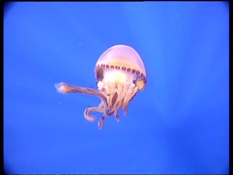 cu jellyfish moving away from camera towards surface, fish following, malaysia - 共生関係点の映像素材/bロール