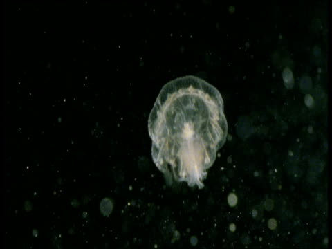vidéos et rushes de jellyfish polyp swims and pulsates, western scotland - translucide