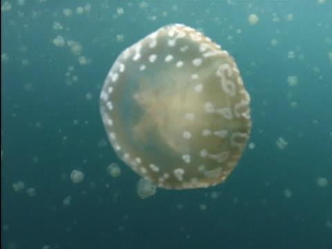 a jellyfish pulsates underwater. - wirbelloses tier stock-videos und b-roll-filmmaterial