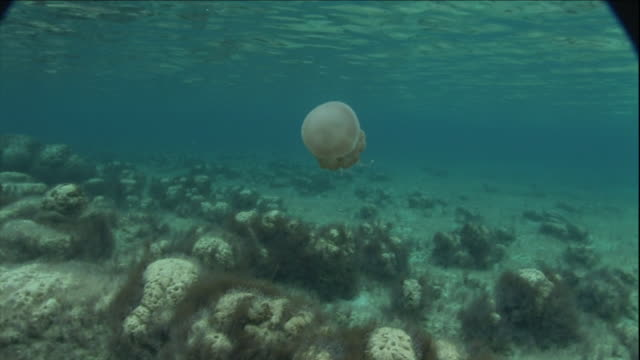 a jellyfish pulses through clear, shallow water. - shallow stock videos & royalty-free footage