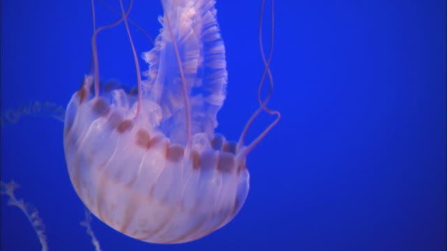 CU Jellyfish swimming in a tank at the Monterey Bay Aquarium / Moss Landing, California, United States