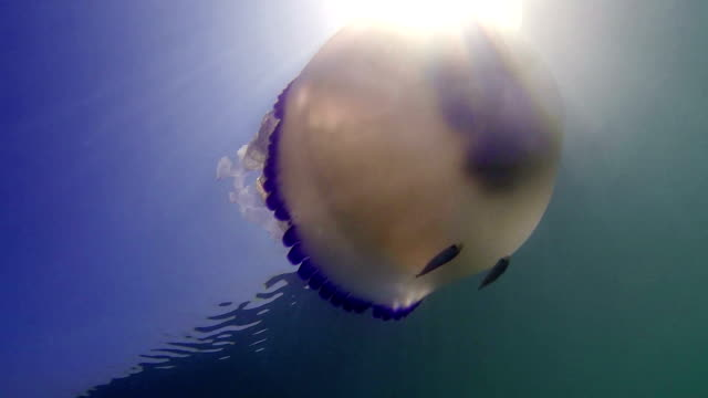 jellyfish swimming in the sea - adriatic sea stock videos & royalty-free footage