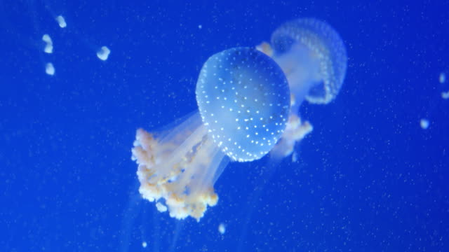 vídeos y material grabado en eventos de stock de medusas nadando bajo el agua - organismo acuático