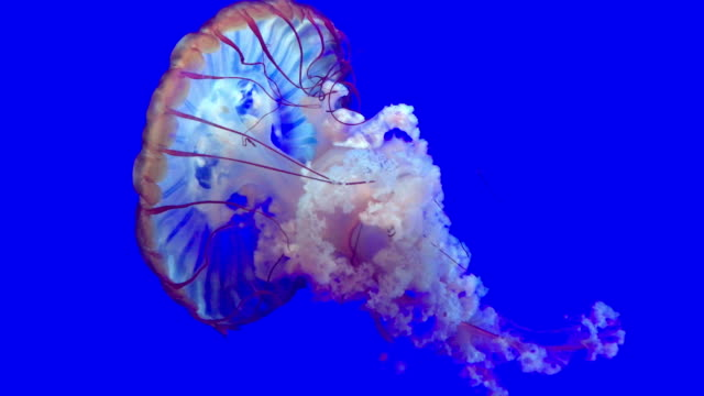 Jellyfish swimming with a blue background