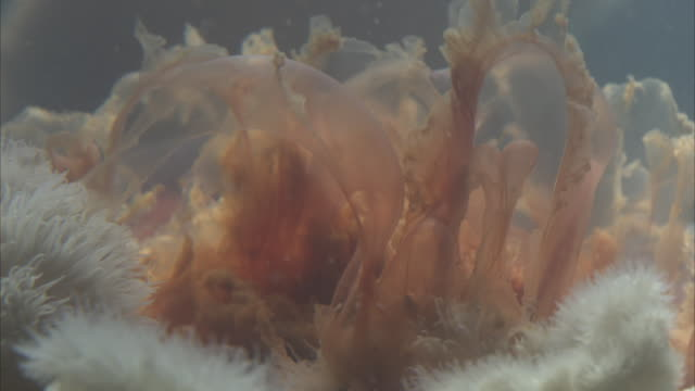a jellyfish, trapped by an anemone flutters as it slowly dies. - クラゲ点の映像素材/bロール
