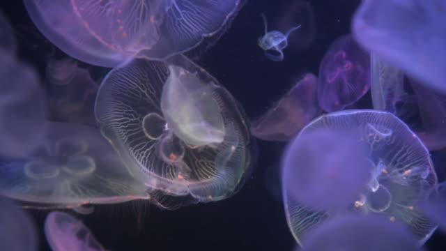 vídeos y material grabado en eventos de stock de jellyfish - translúcido