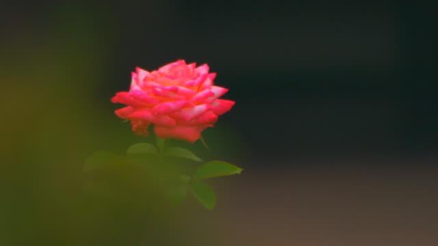 jenging, chinapink rose close up - petal stock videos & royalty-free footage