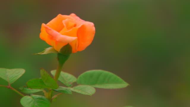 vídeos y material grabado en eventos de stock de jenging, chinayellow flower - una rosa