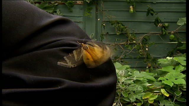 jersey tiger moth spotted in peckham moth on reporter's jacket - moth stock videos & royalty-free footage