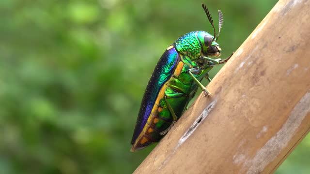 jewel beetle close up - fluorite stock videos & royalty-free footage