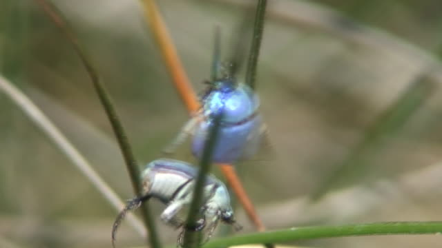 vídeos y material grabado en eventos de stock de beetles colores brillantes lucha increíble! - exoesqueleto animal