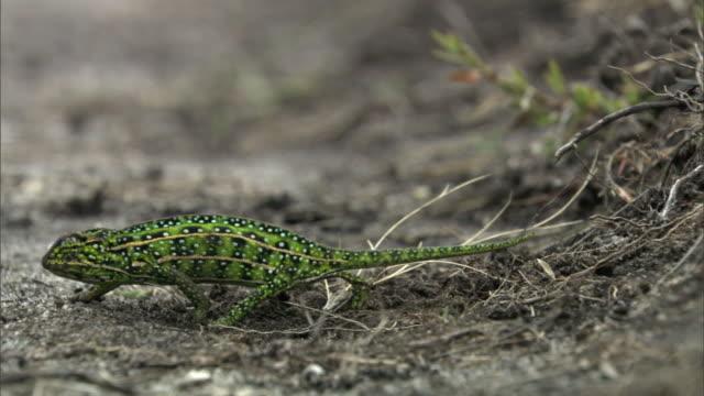 jewelled chameleon (furcifer campani) leaves concealed buried eggs, madagascar - 動物の色点の映像素材/bロール