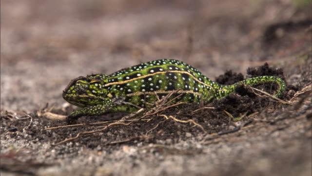 Jewelled chameleon (Furcifer campani) leaves nest after egg laying, Madagascar