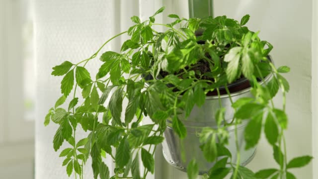 jiaogulan plant growing in urban apartment - herb stock videos & royalty-free footage