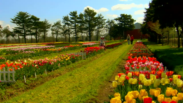 jib shot of tulip farm, tilt up, pan - jib shot stock videos & royalty-free footage