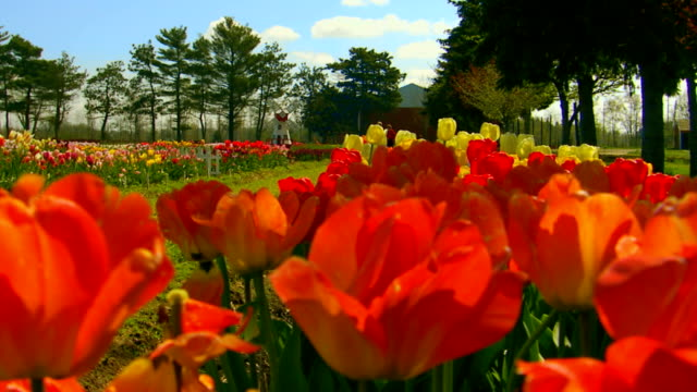 jib shot of tulip farm, tilt up - jib shot stock videos & royalty-free footage