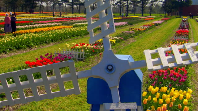 jib shot of tulip farm with windmill in foreground, pan, tilt down - jib shot stock videos & royalty-free footage