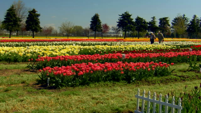 jib shot of tulip farm with windmill in foreground, pan, tilt up - jib shot stock videos & royalty-free footage