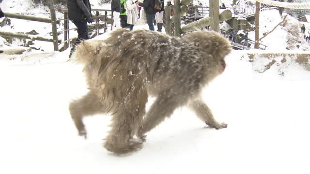 vídeos de stock, filmes e b-roll de jigokudani monkeys in nagano, japan - nagano