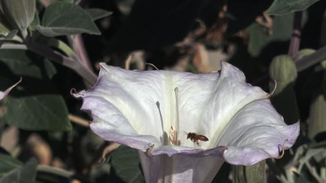 Jimsonweed, Datura sp., with honeybee, Joshua Tree National Park