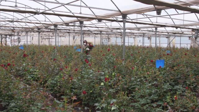 joaquim pons wearing a face mask collects roses to be sold online at his family rose plant nursery flors pons on april 22, 2020 in santa susanna,... - pons stock videos & royalty-free footage
