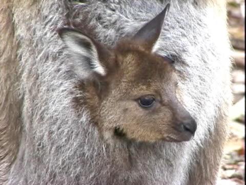 vídeos de stock e filmes b-roll de cu joey in mother's pouch  - filhote de animal