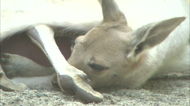a joey inside its mother's pouch rests its head on the ground. - カンガルーの子点の映像素材/bロール