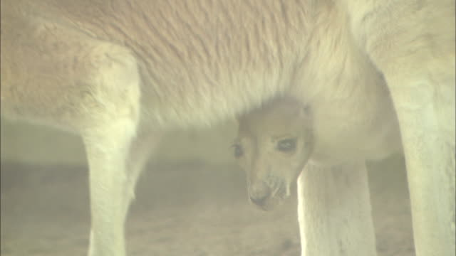 A joey peeks its head out of its mother's pouch.